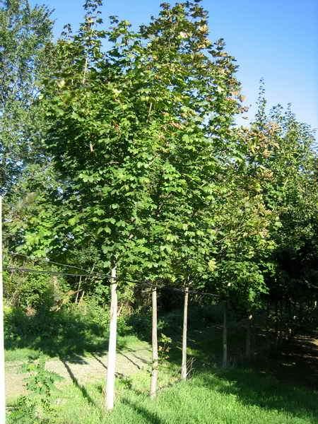 Piante ornamentali da giardino vivai piante gabbianelli for Acero riccio
