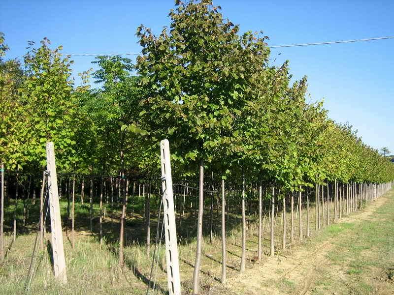 Alberi da giardino vivai piante gabbianelli - Alberi sempreverdi da giardino ...
