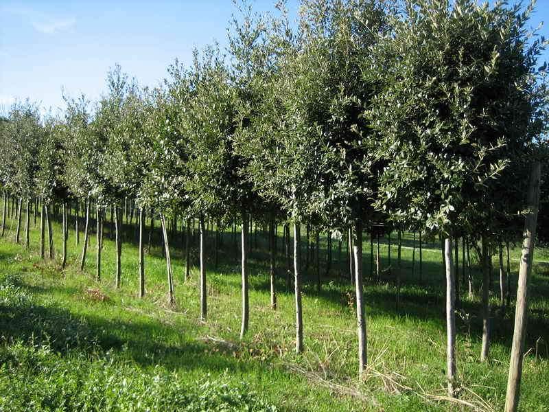 Piante ornamentali da giardino vivai piante gabbianelli - Prezzi alberi da giardino ...
