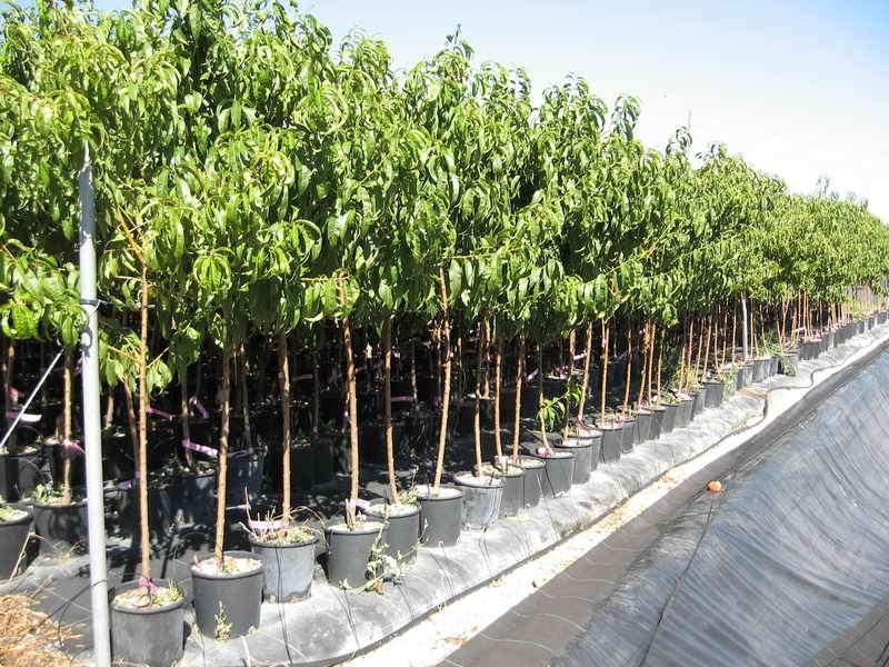 Produzioni da frutto vivai piante gabbianelli for Piante da frutto vaso