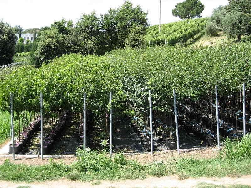 Produzioni da frutto - Vivai Piante Gabbianelli