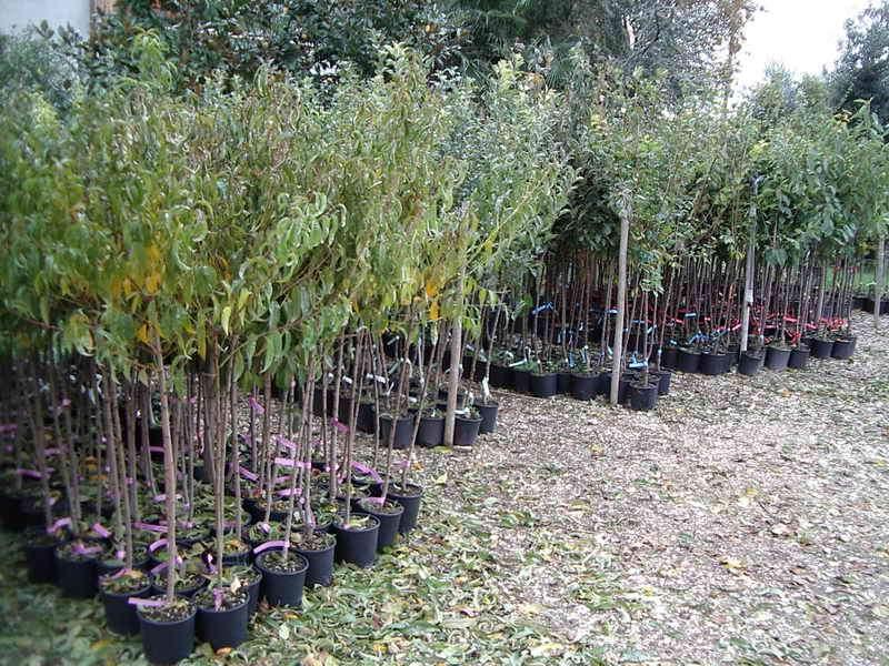 produzioni piante da frutto vivai piante gabbianelli