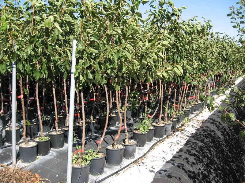 Produzioni da frutto vivai piante gabbianelli for Alberi frutta vendita