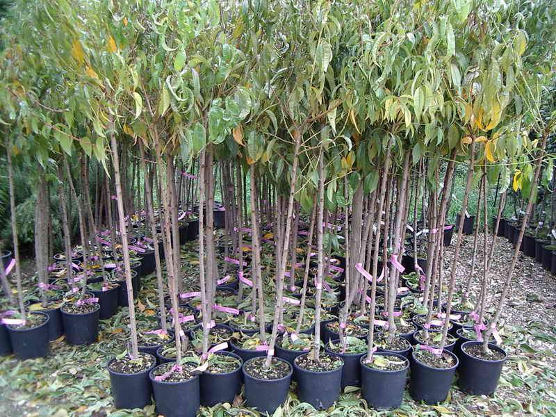 Produzioni piante da frutto vivai piante gabbianelli for Alberi in vendita