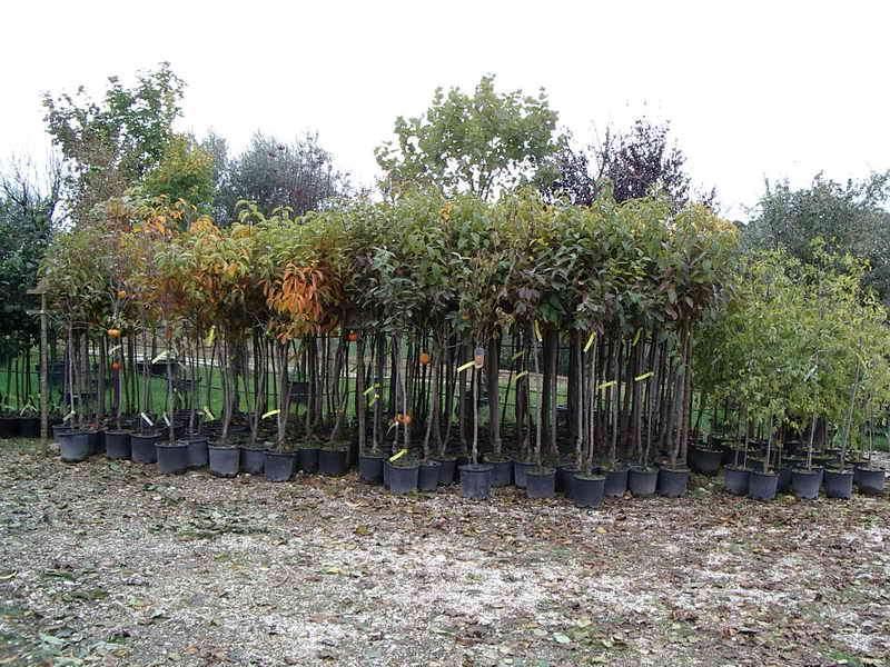 Vendita piante da frutto vendita piante da frutto online for Vendita alberi da frutto adulti