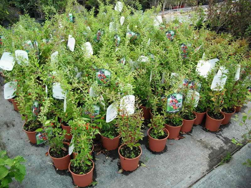 Produzioni da frutto vivai piante gabbianelli for Piccoli alberi da frutto