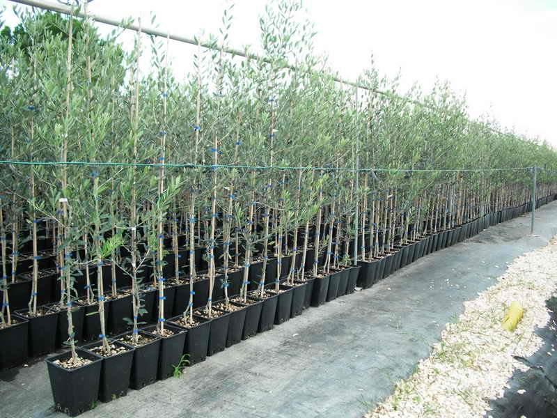 Piante Di Ulivo In Vendita : Produzioni da frutto vivai piante gabbianelli