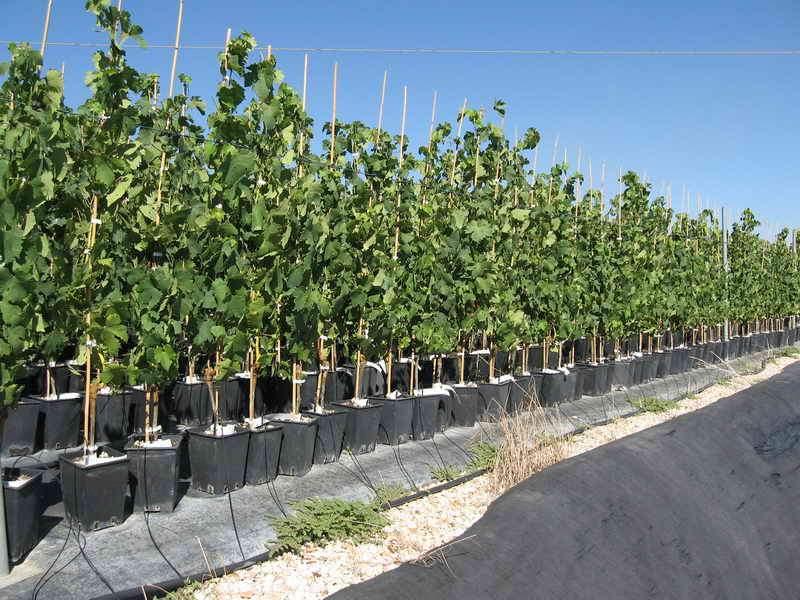 Produzioni da frutto vivai piante gabbianelli for Barbatelle di vite