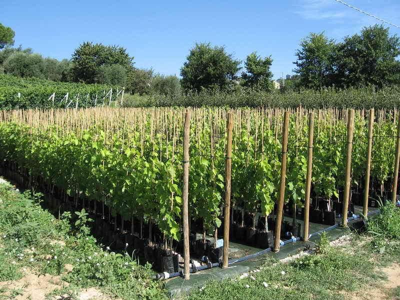 Produzioni da frutto vivai piante gabbianelli for Piante da uva in vaso