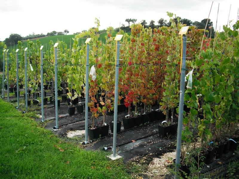 Produzioni piante da frutto vivai piante gabbianelli - Vivai rauscedo uva da tavola ...