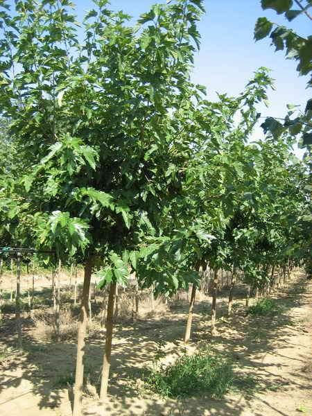 Piante ornamentali da giardino vivai piante gabbianelli for Gelso pianta