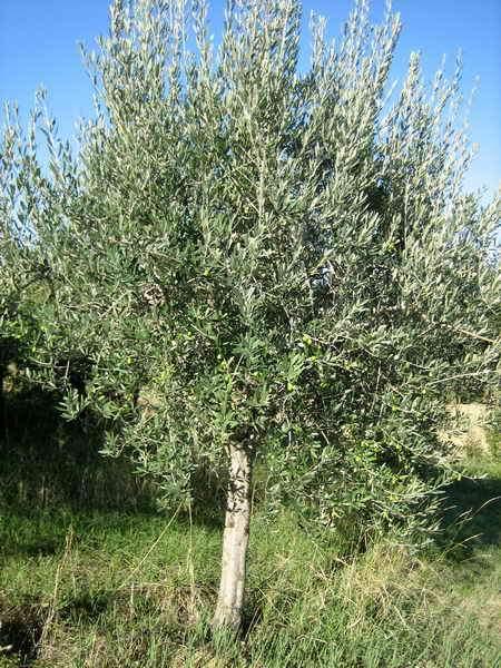 Piante ornamentali da giardino vivai piante gabbianelli for Piante ornamentali da giardino prezzi