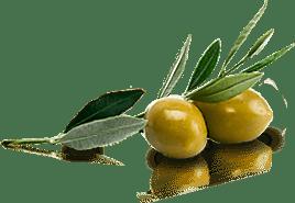 Varietà di olivo da olio e da tavola