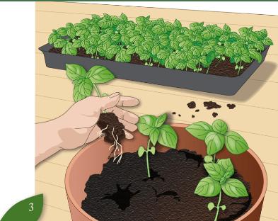 Orto in vaso guida coltivazione e consigli pratici for Coltivazione basilico in vaso