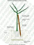Schema di come piantare alberi da frutto