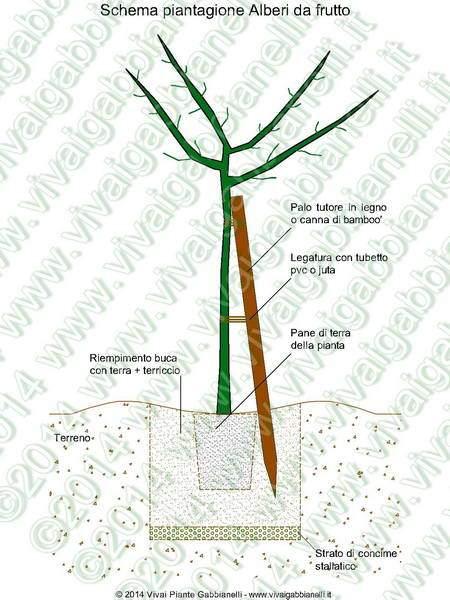 Costo piante ulivo pianta ulivo bonsai secolare olivo for Bonsai da frutto vendita