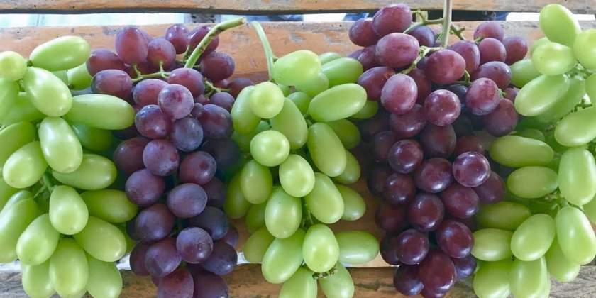 Uva da Tavola - Come piantare le viti